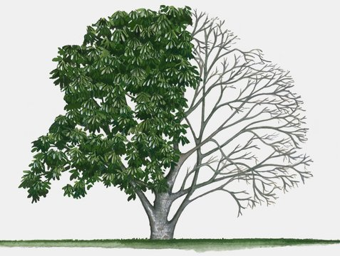 Illustration of Aesculus californica (California buckeye), a deciduous tree showing summer leaves an